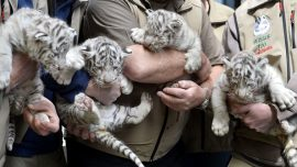 Austria zoo shows off 4 white tiger cubs