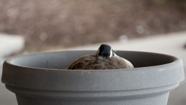 Goose couple lays eggs in flower pot of busy hospital