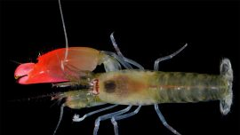 Researchers name new species of shrimp after Pink Floyd
