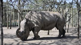 Tinder helping severely endangered rhino to find a breeding partner