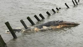 Humpback whale deaths alarm scientists