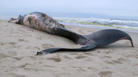 Dead whale on New Jersey shore leaves questions as to cause of death