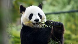 Panda in Japan may be pregnant, zookeepers hope for safe birth