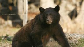 Authorities capture and kill a bear they believe attacked a teen in Colorado