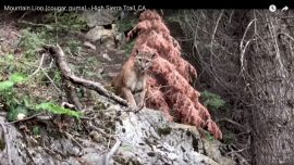 Hikers' Terrifying Cougar Encounter Caught on Video