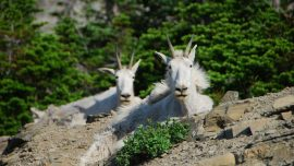 Colorado Officials Are Concerned About Animals' Unnatural Behavior on Mount Evans