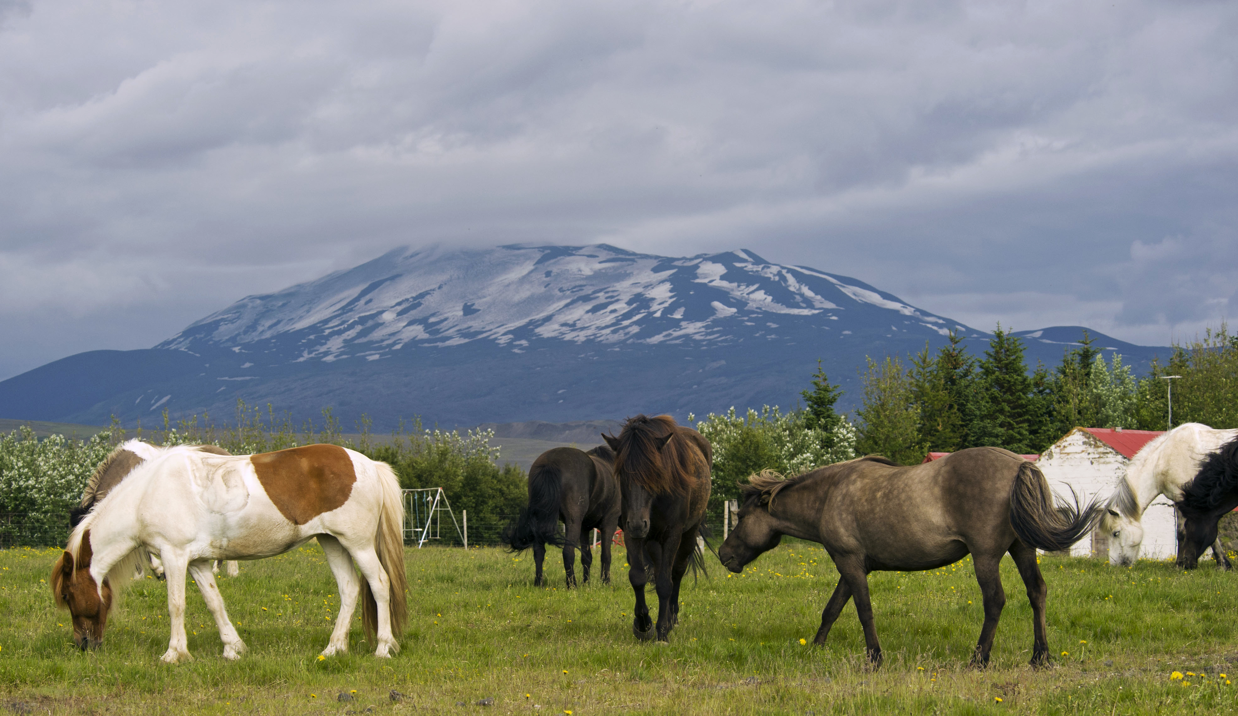 Horses walk in a meadow with Iceland's Hekla volcano in the background on July 6, 2011. One of Iceland's most feared volcanoes looks ready to erupt, with measurements indicating magma movement, Icelandic experts said yesterday, raising fears of a new ash cloud halting flights over Europe. (Halldor Kolbeins/AFP/Getty Images)