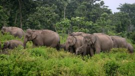Grieving Elephants March in 'Funeral Procession' as They Carry the Body of a Dead Calf