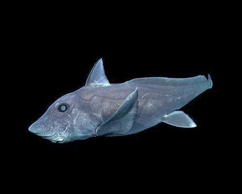 The pointy-nosed blue chimaera had never been captured on film before. (http://www.theworldsbestever.com/2016/12/20/this-deep-sea-ghost-shark-is-a-real-dickhead)