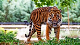 Wild Tiger Chases Motorcycle, Their Narrow Escape Caught on Video