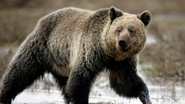 Moose Hunter Killed After Encounter With Grizzly Bear in Alaska National Park