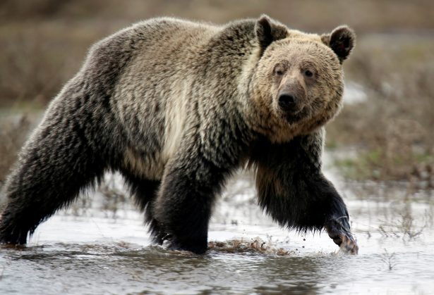 3 Men Wounded in 2 Separate Grizzly Bear Attacks in Same Area of Montana