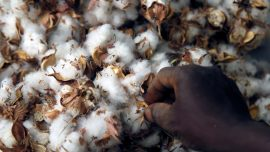 Special Report: How Monsanto's GM Cotton Sowed Trouble in Africa