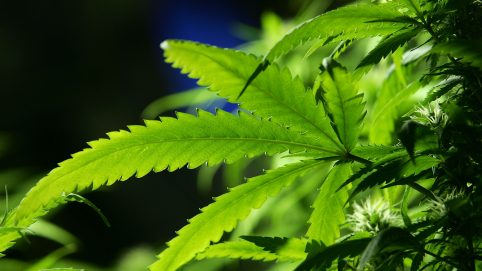 Research Says High-Potency Cannabis Linked To Psychosis