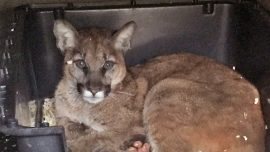 California Mountain Lion Cub Being Treated for Burns with Fish Skin
