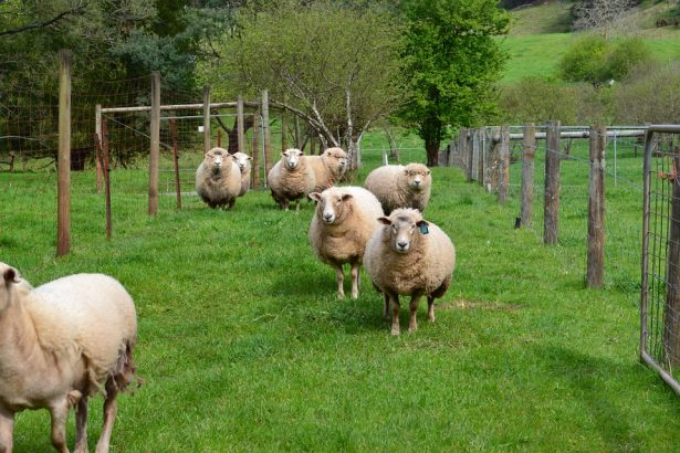 Scottish Farmer Paints Sheep in Plaid Colors to Prank Tourists
