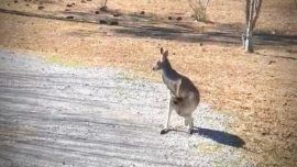 Kangaroo Caught Hopping Along Texas Highway