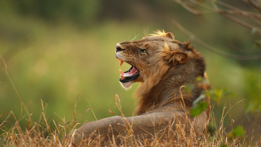 Lion Breaks out of Enclosure, Kills 22-Year-Old Woman in North Carolina: Reports