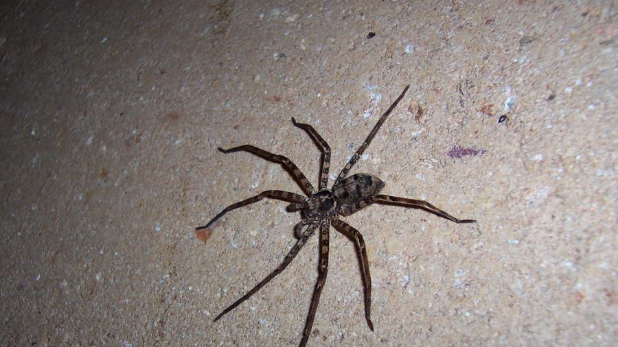 Huge Spider the Size of a Human Hand Found by Woman in Her Living Room