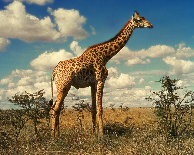 Reticulated giraffe in the wild (Jitze Couperus/Flckr)