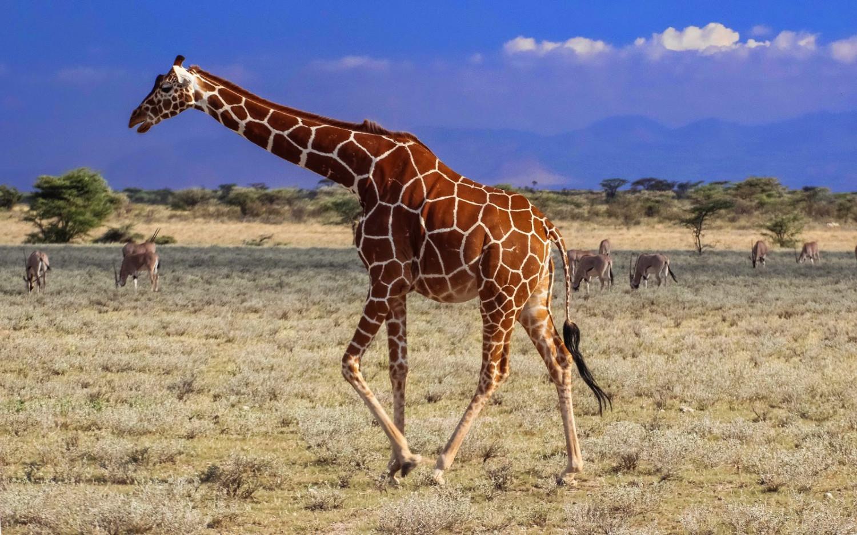 A reticulated giraffe ambles across Africa's plains. (cannundrum.blogspot.com)