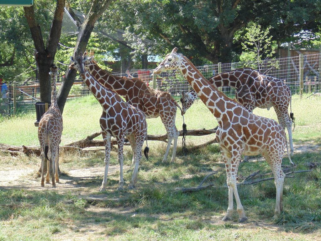 A herd of reticulated giraffes at Blank Park Zoo, Des Moines, Iowa (jaymeblack.deviantart.com)