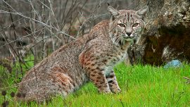 Elderly Couple in Florida Says Bobcat Attacked Them on Their Morning Walk
