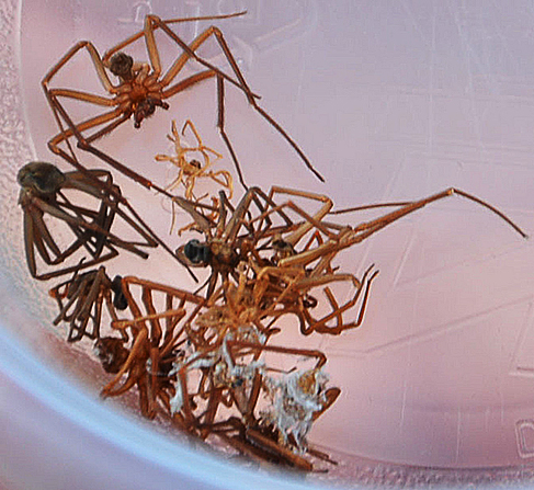 These dead brown recluse spiders were found in a Missouri woman's home. (Michael Losch/KOMU/Flickr)