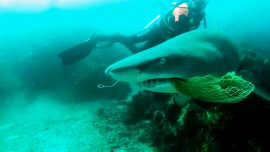 Brave Diver Rescues Shark From Netting: Caught on Camera
