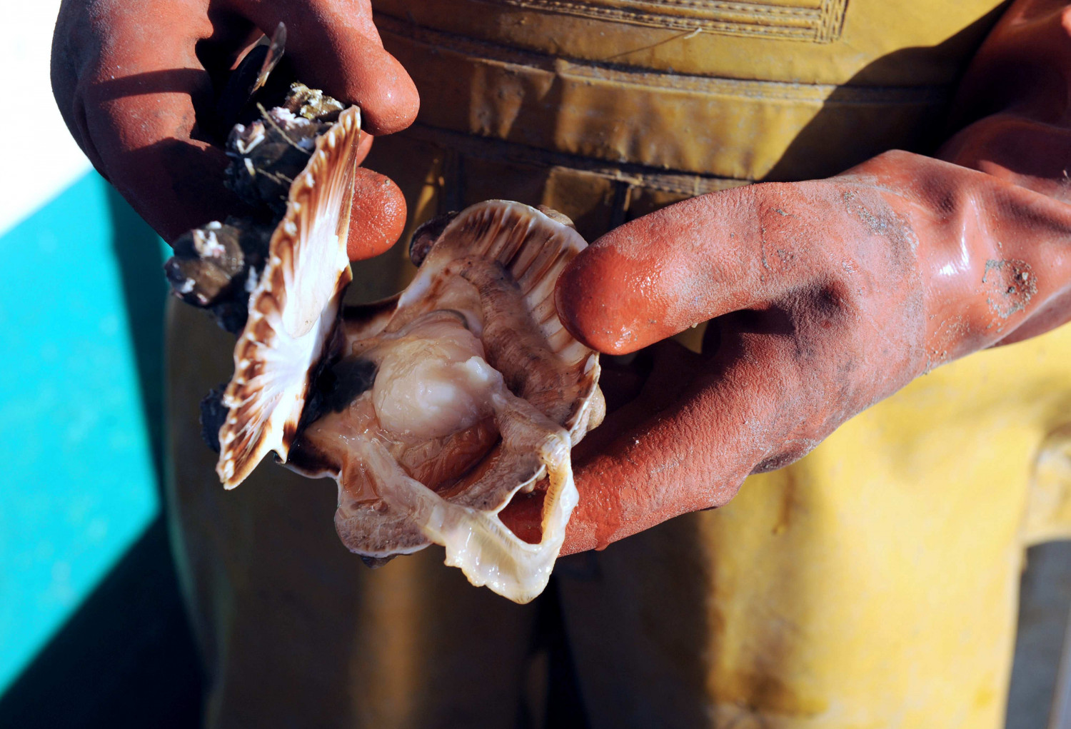 A French fisherman shows a scallop