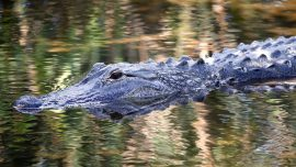 75-Year-Old Florida Man Fights Off Alligator, Saves Dog