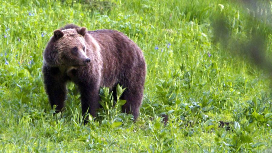 Bears Break Into Truck, Tear Inside Apart