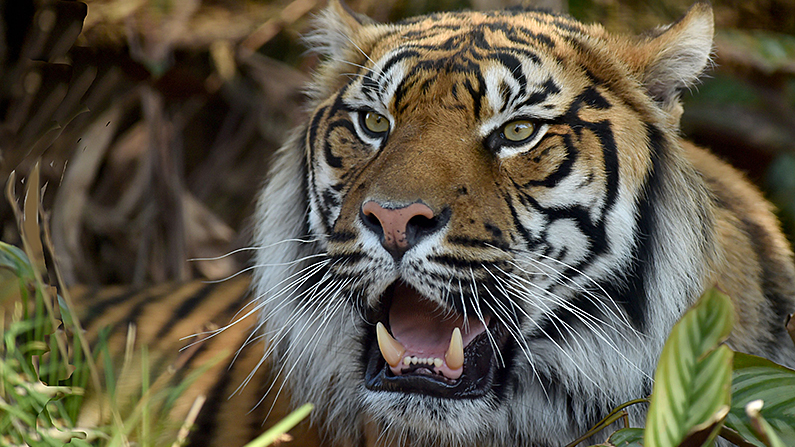 Zookeeper Mauled by Tiger in Topeka