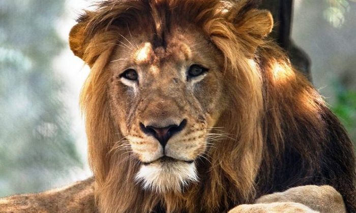 Report: Witness Says Gate Blocked When Lion Killed Intern