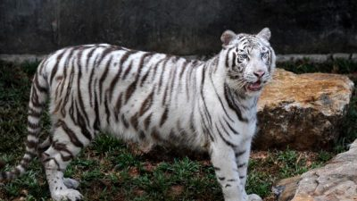 Rare White Tiger Kills Zookeeper in Japan, Family Speaks Out