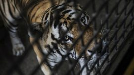 Anger After Chinese Regime Lifts Ban on Tiger Bone, Rhino Horn for Medicine