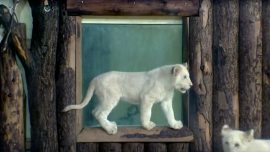 Rare White Lion Cubs Get Named at German Zoo