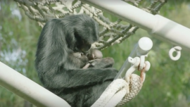 Surprise Newborn Siamang Delights Zoo Visitors