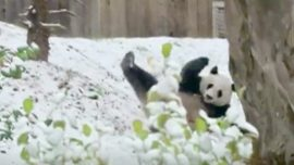 Real-Life Kung Fu Panda Practices Ninja Rolls in the Snow