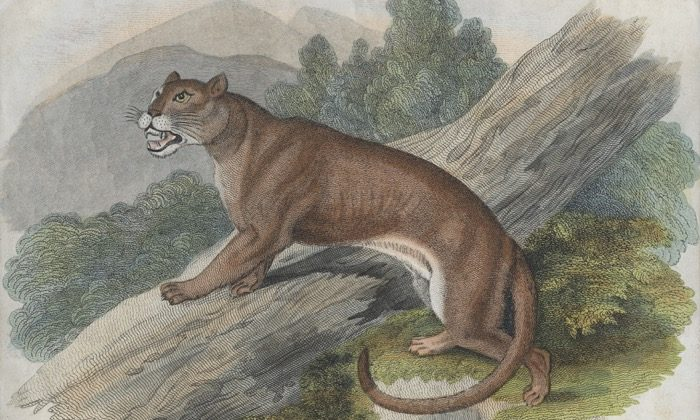 Cougar Shot, Killed After Trapping Cascade Locks Woman and Her Baby