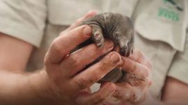 Echidna Puggles Are Ready to Steal Hearts at Taronga Zoo