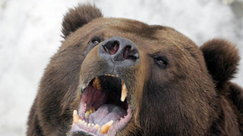 Hungry Bear Goes for Ride After Getting Stuck on Trash Truck