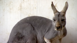 An Unlikely Kangaroo Sanctuary in Southern Minnesota
