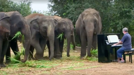 Classical Pianist Paul Barton Plays Music for Rescued Elephants in Thailand