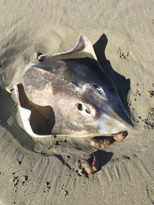 a rough skate is on a beach in new zealand