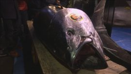 Tuna Auctioned at Record $3 Million at Tokyo's New Fish Market