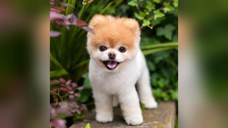 'World's Cutest Dog' Boo Dies Aged 12 From a Broken Heart