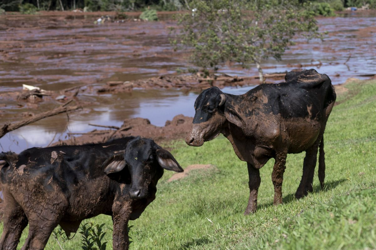 Cattle are covered by mining debris after a mine collapsed