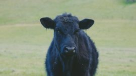Rodeo Cow Escapes and Evades Capture on Alaskan Trails
