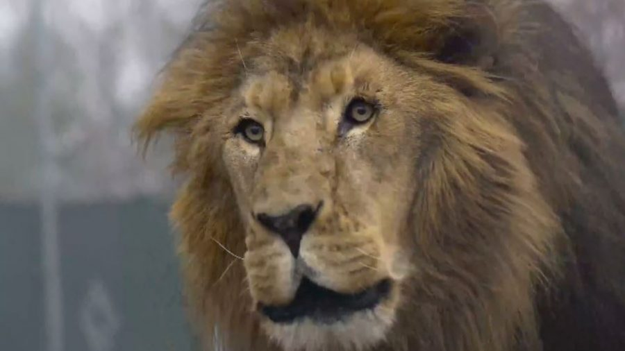 Authorities Determine Cause of Death for Intern Killed by Lion at Wildlife Center